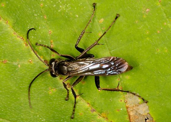 Unknown wasp  - Anoplius virginiensis - female