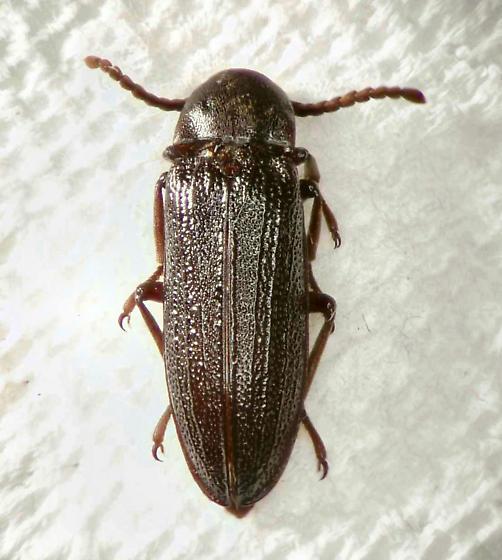 Callirhipid Cedar Beetle - Zenoa picea