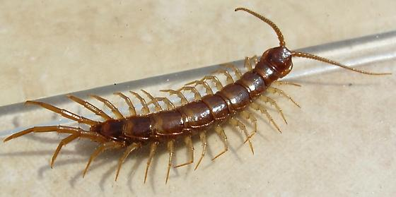 Stone Centipede - Lithobius forficatus