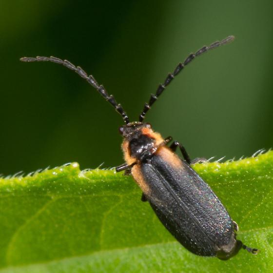 Polemius? - Polemius laticornis