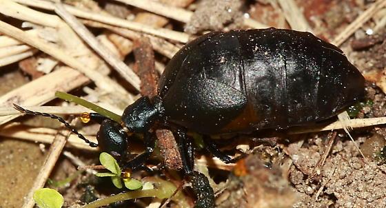 Beetle - Meloe americanus