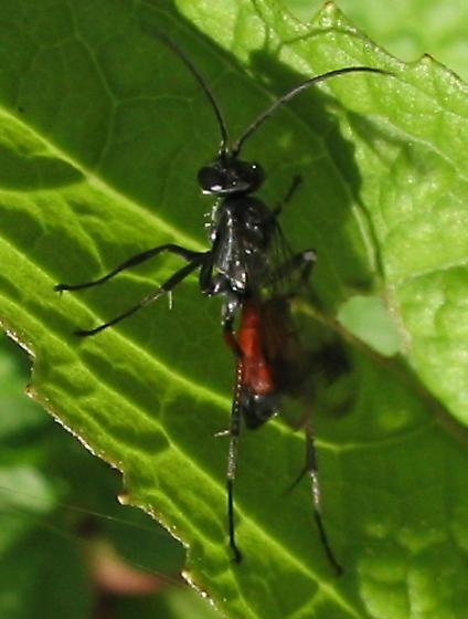 Wasp with red abdomen - Caliadurgus fasciatellus
