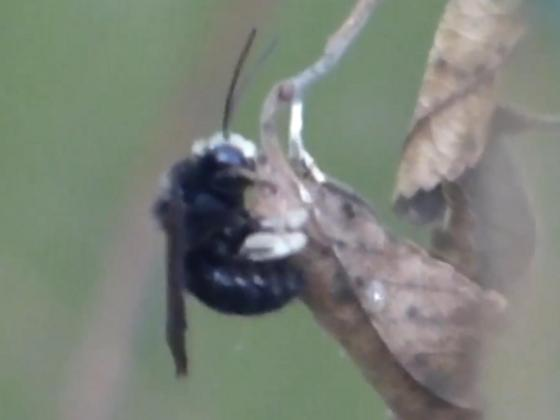 Unknown bee or wasp - Melissodes bimaculatus - male