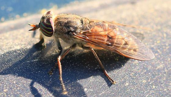 horse fly - Hybomitra lasiophthalma