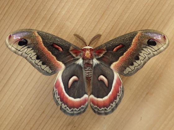 Saturniidae: Hyalophora cecropia - Hyalophora cecropia - male