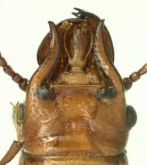 Prostomidae Prostomis mandibularis - Prostomis americanus