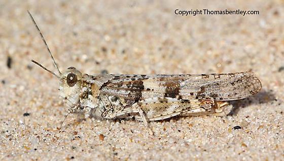 Grasshopper - Trimerotropis huroniana - male