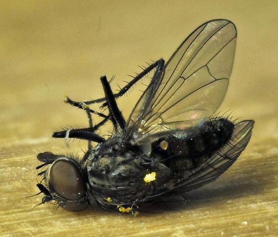 unknown Diptera - Delia platura - male