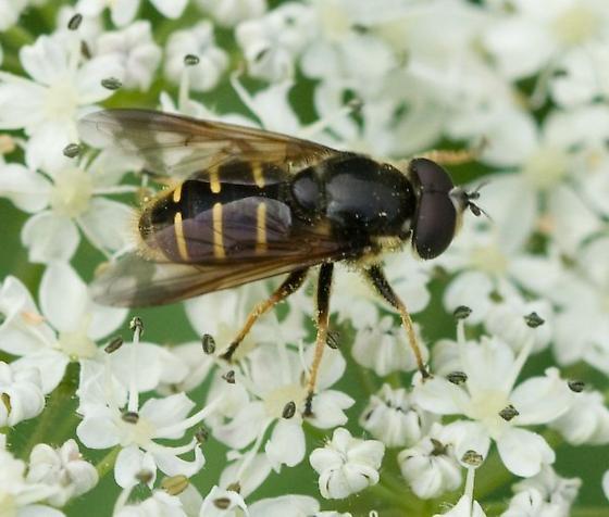 Syrphidae - Sericomyia chalcopyga - male