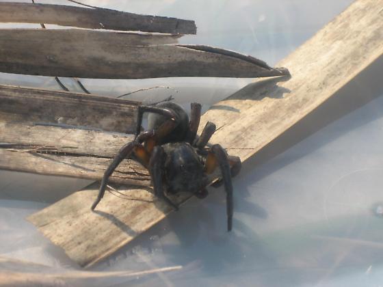 Pensacola Florida Possible Trapdoor spider? - Geolycosa
