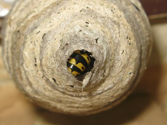 Usurpations  - Dolichovespula arenaria - female