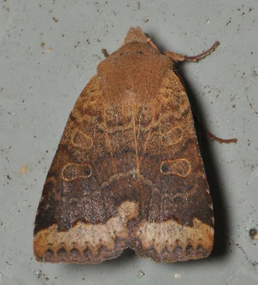 Sallow moth with distinctive outer border - Sericaglaea signata