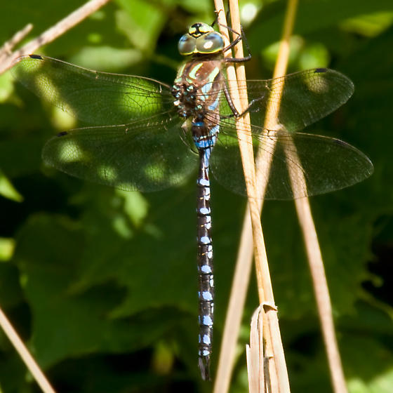 Lance-tipped Darner? - Aeshna constricta - male