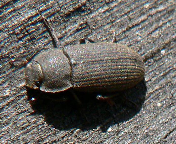 Beetle - Gonocephalum sericeum