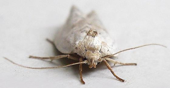 White Manzanita Moth - Antaeotricha manzanitae