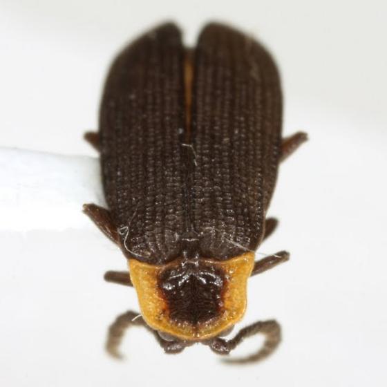 Plateros bispiculatus Green - Plateros bispiculatus - male