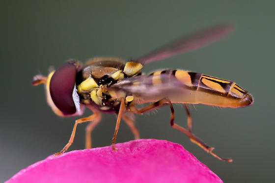 Possible Hoverfly, Syrphidae - Allograpta