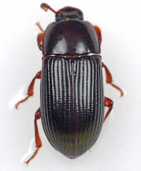Darkling Beetle - Uloma punctulata