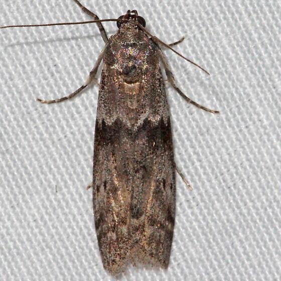 Mediterranean Flour Moth - Ephestia kuehniella