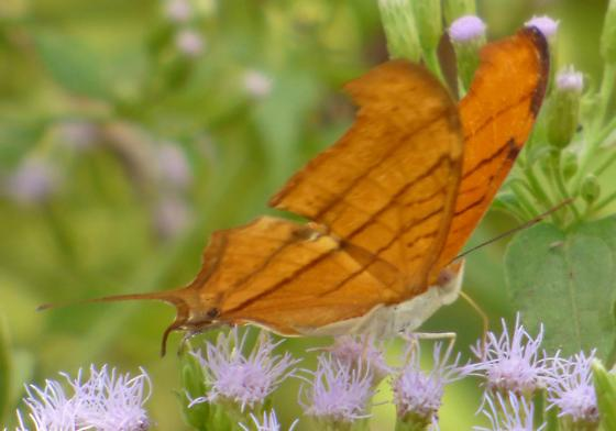 UnknownButterfly81 - Marpesia petreus