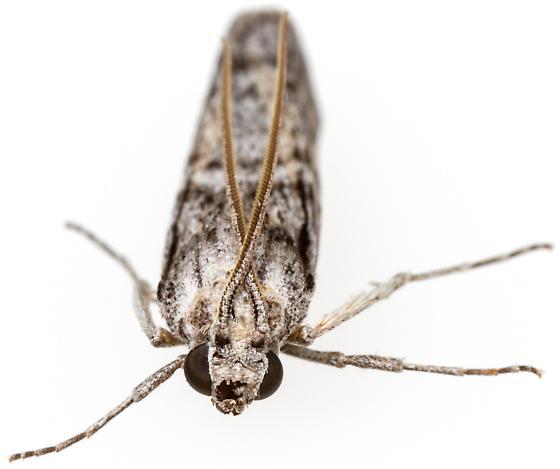 Cactobrosis fernaldialis?