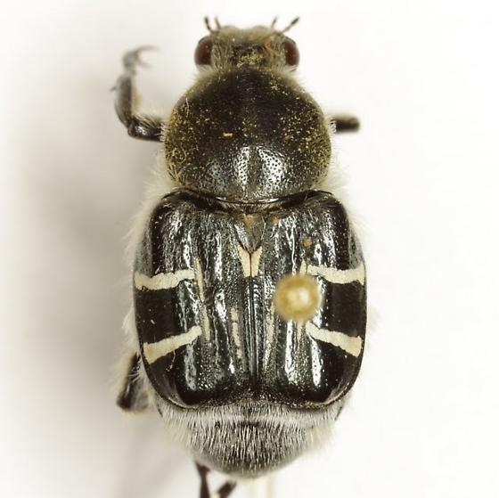 Trichiotinus texanus (Horn) - Trichiotinus texanus