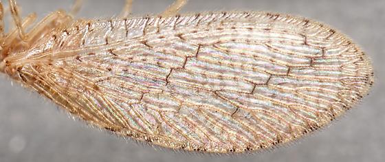 Micromus posticus