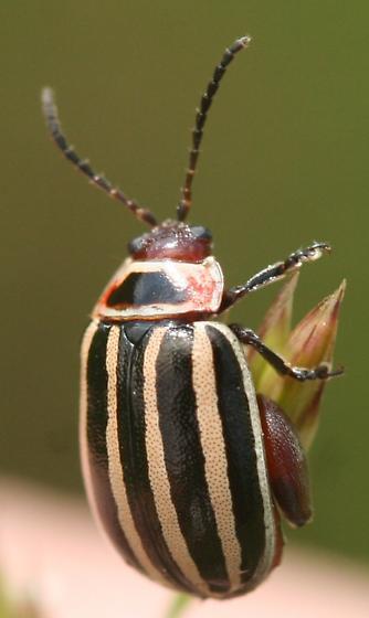 Leaf beetle - Kuschelina petaurista