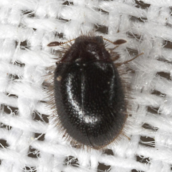 Carpet Beetle - Apsectus hispidus