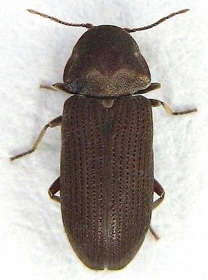 Small Beetle - Vrilletta