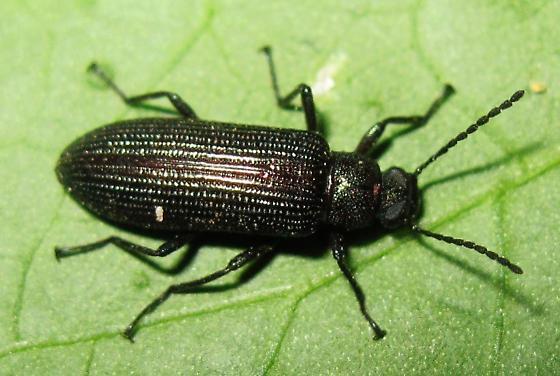 what species? - Strongylium crenatum