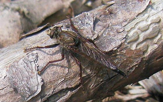 Proctacanthus nigriventris - female