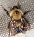 Two-spotted bumblebee queen - Bombus bimaculatus - female
