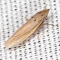 Sharpshooter Leafhopper - Draeculacephala septemguttata