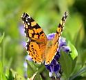 Butterfly - Vanessa annabella
