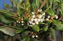 beetle - Rhagonycha lineola