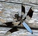Male Common Whitetail? - Plathemis lydia