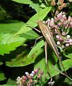 Brown katydid Species ? - Neoconocephalus triops - male