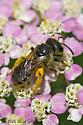 Halictid Bee - Halictus ligatus - female