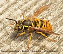 Vespula maculifrons - Eastern Yellowjacket - Vespula maculifrons - female