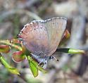 Callophrys angustinus - Callophrys augustinus