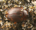 another seaweed beetle - Cercyon fimbriatus