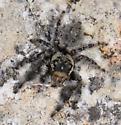 Jumping spider - Phidippus asotus