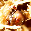 Another dung beetle - Cercyon