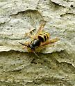 Unknown Yellow Jacket? - Dolichovespula