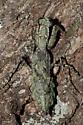 Great Camouflage - Gonatista grisea - female