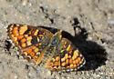Northern Crescent? - Phyciodes pulchella - female