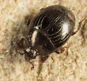 Histerid - Geomysaprinus moniliatus