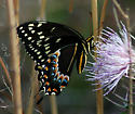 Loving this thistle - Papilio palamedes - female