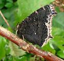 Nymphalidae, Mourning Cloak, emerged - Nymphalis antiopa
